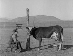 Buster Keaton tries milking a cow in Go West.
