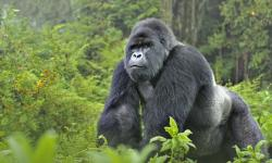 One of just 800 mountain gorillas left in the world in Virunga.